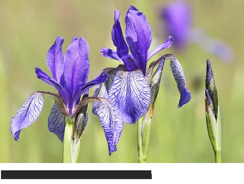 Sibirische Schwertlilie Bilder, Fotos, Iris sibirica, Lilie, Feuchtwiesen