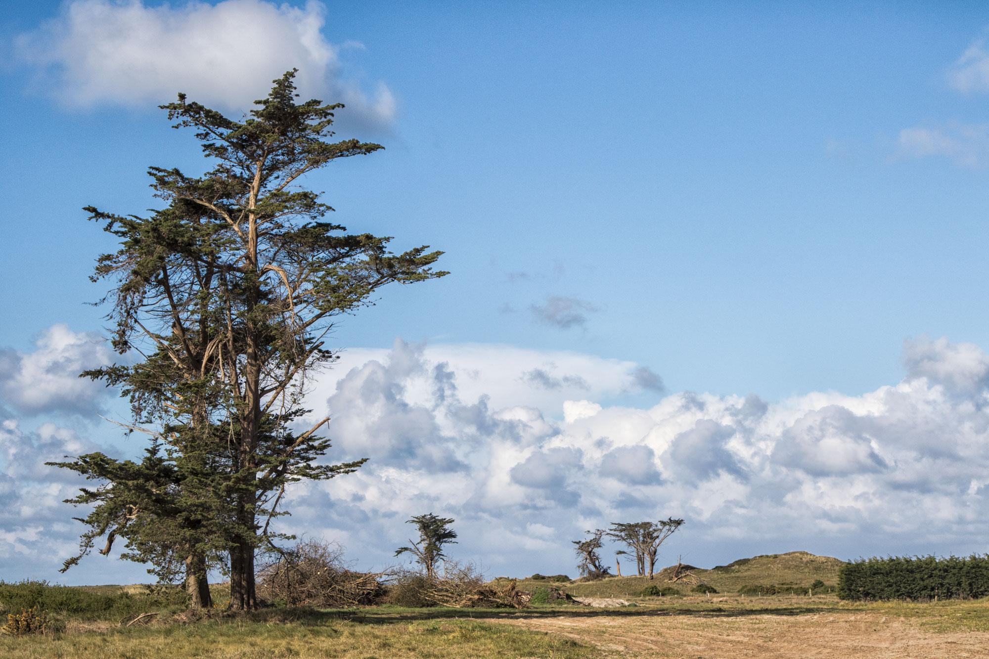 Uralte Baumbestände in den Dünen von Surville