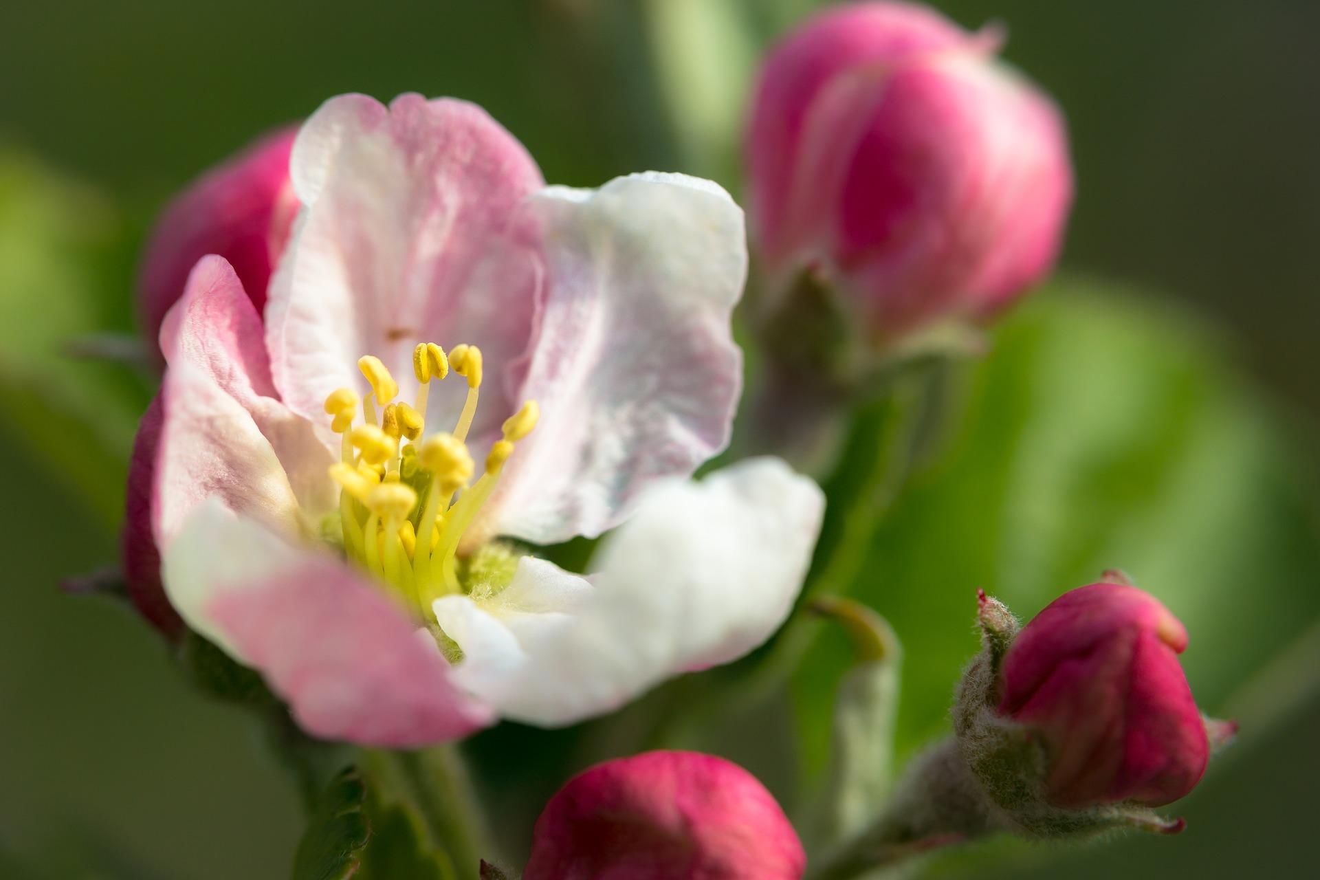 Vom Samenkorn bis zur Blüte - ein Apfel kommt zu Wort