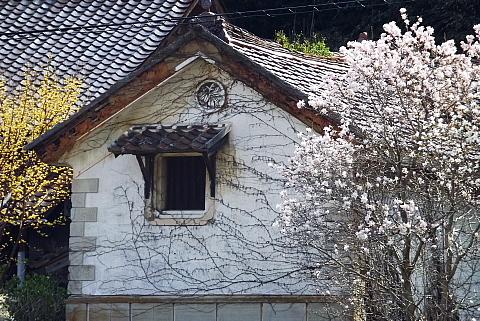 敬川のモクレンと蔵