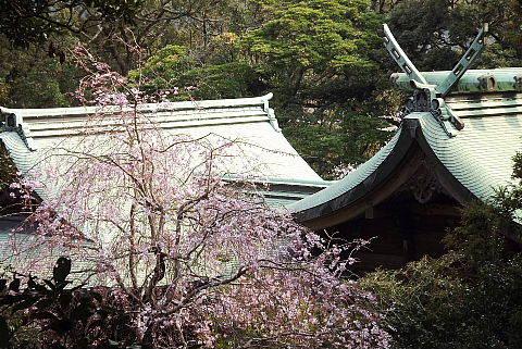 浜田靖国神社の桜