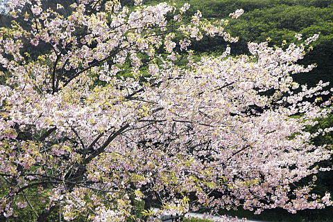 三隅神社の桜