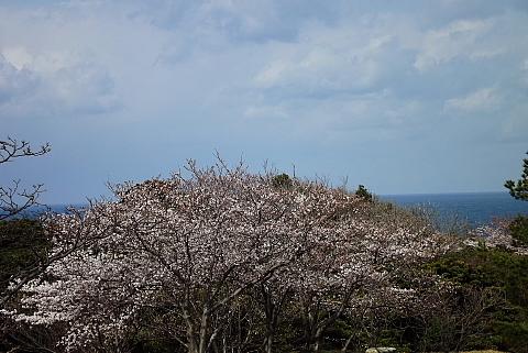海浜公園、桜と海