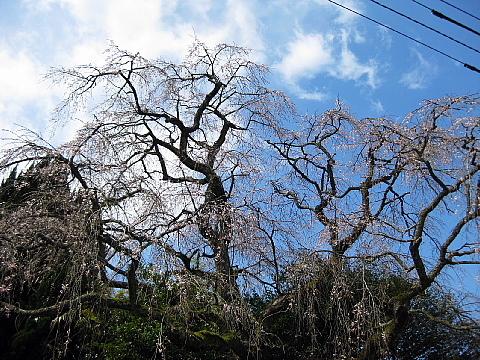 山本家の白枝垂桜