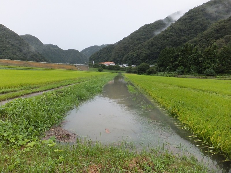 本線の排水路から水があふれ始めきぬむすめの田んぼには行けません