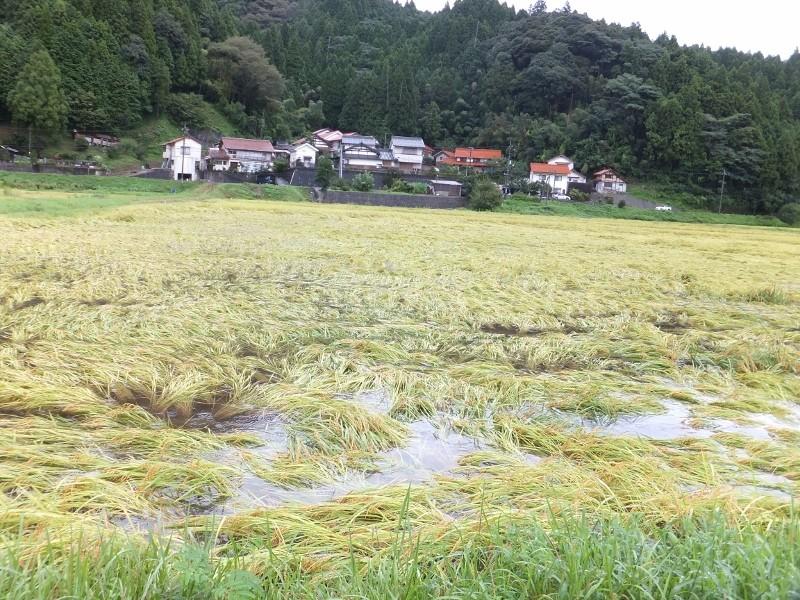 水から解放されたコシヒカリの田んぼ