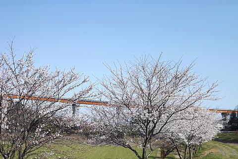 敬川、山陰道と桜並木