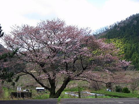 川戸駅の桜