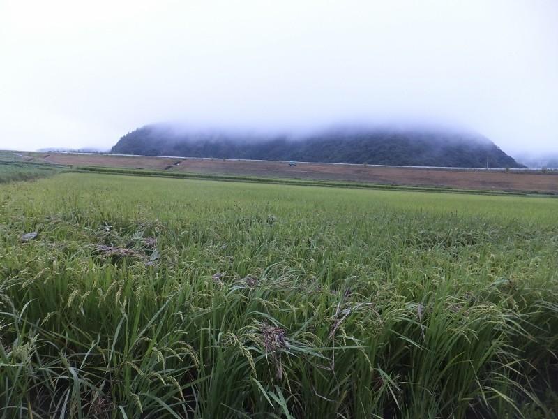 きぬむすめの田んぼには稲の上にごみが引っ掛かっています