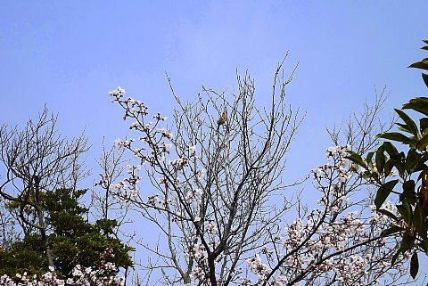 桜の開花に合わせて飛んできました。