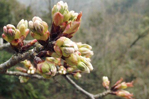 大平桜のつぼみです