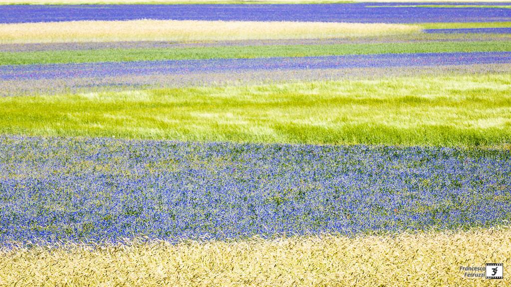Castelluccio. la fioritura delle lenticchie