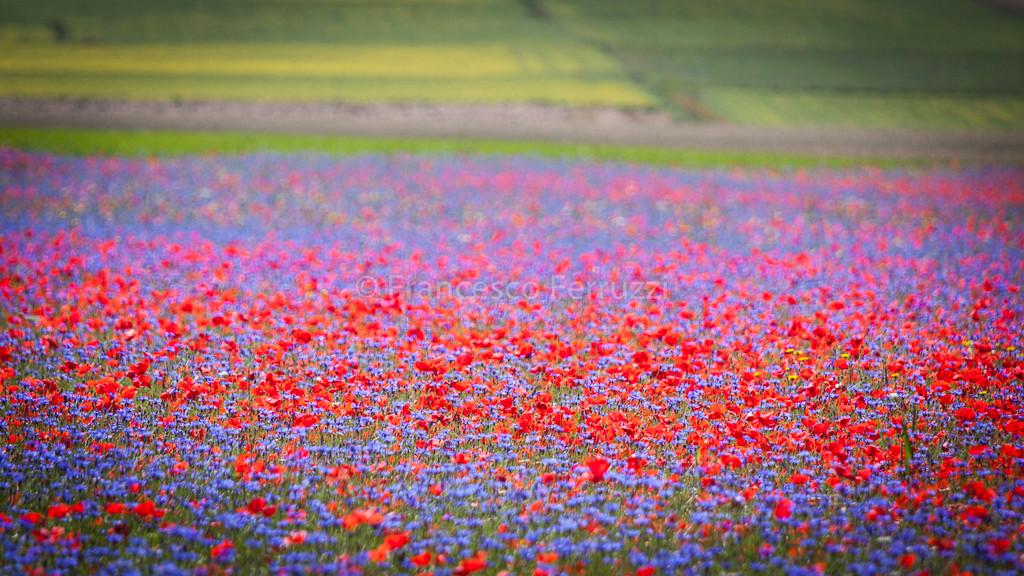La fioritura delle lenticchie