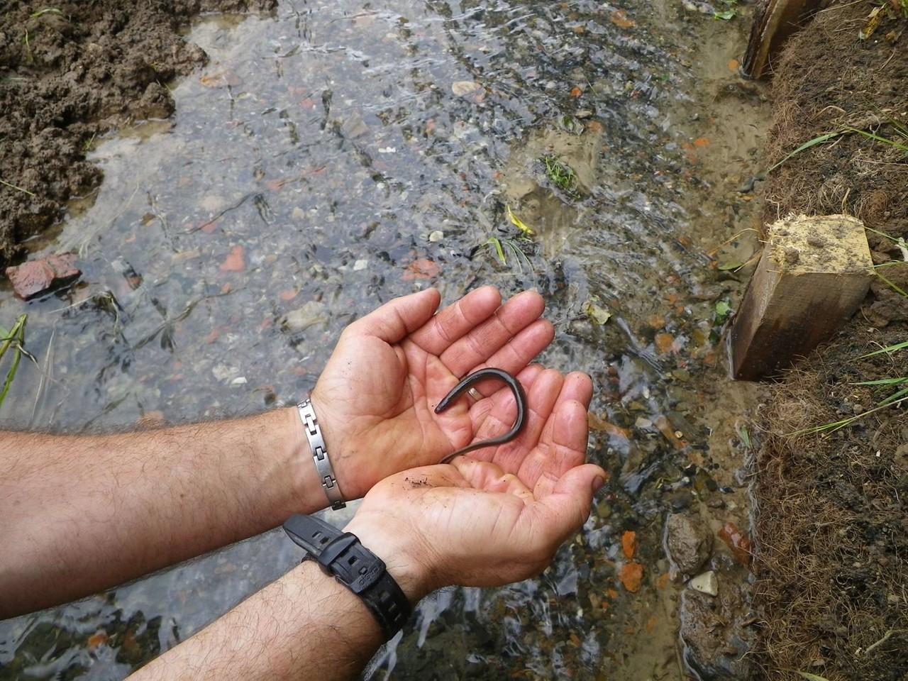 Présence d'une anguille