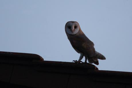 Schleiereulen Altvogel auf dem Scheunendach (Foto: Michael Herzig / ca. 22:00 Uhr)