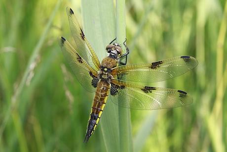 Vierfleck-Libelle (Foto: J. Aschenbrenner)