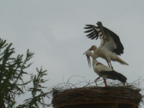 Paarung im Horst (Foto: Peter Eisgruber-Rauscher)