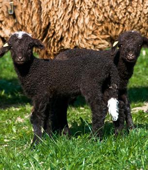 Schafe im Grünboden