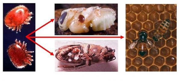 varroa destructor  ferme biologique de la millanchère