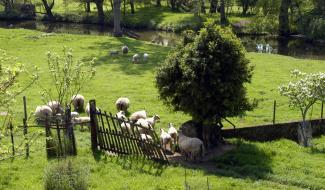 moutons de Gâtine