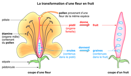 transformation d'une graine en fruit