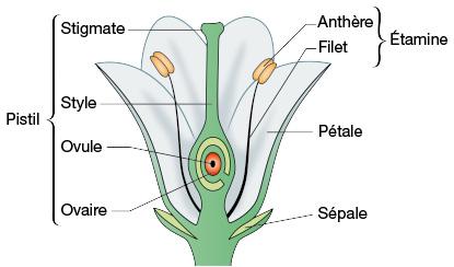 schéma d'une fleur en coupe transversale
