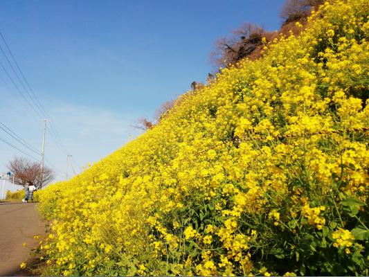 愛媛県伊予市双海町下灘駅前、菜の花畑写真画像