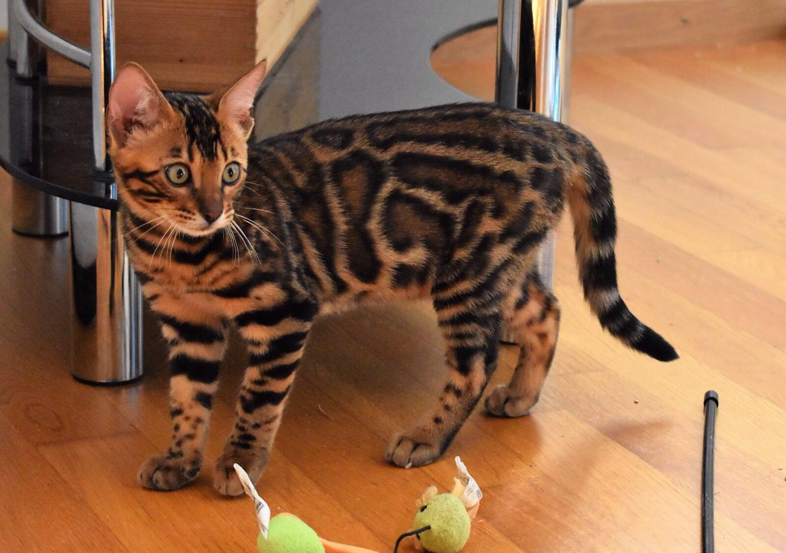 Arya ist eine Katze der Rasse Bengal