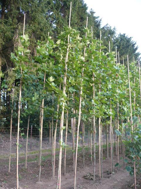 Platane (Platanus acerifolia)  www.funke-pflanzen.de