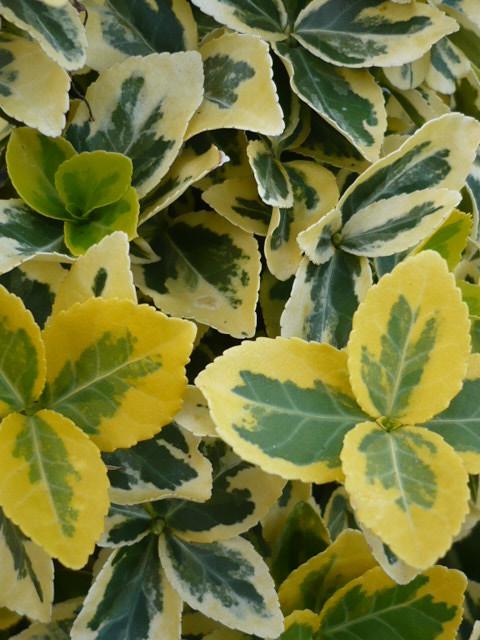Euonymus fortunei Emerald'n Gold,  Kriechmispel Goldgelb www,funke-pflanzen.de