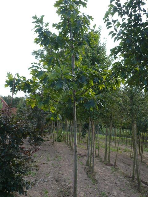 Amerikanische Eiche (Quercus rubra) www.funke-pflanzen.de