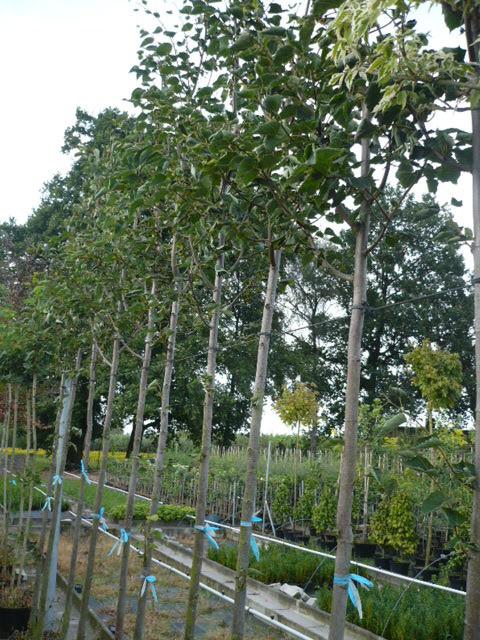 Tilia cordata Baum des Jahres 2016 www.funke-pflanzen.de