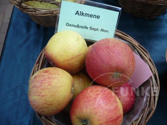 Apfel Alkmene Malus Alkmene www.funke-pflanzen.de