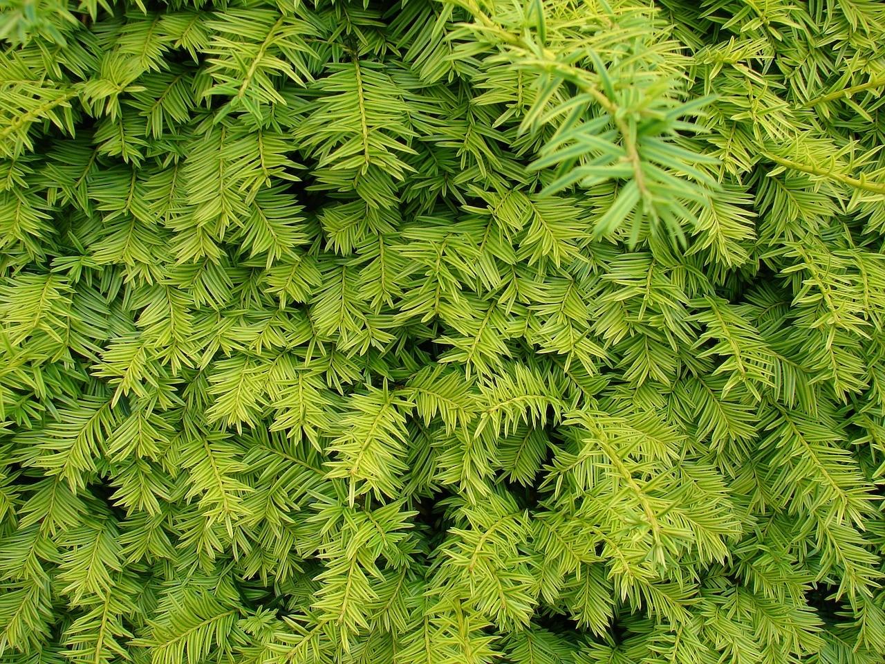 Lebende Raumtrenner Funke Pflanzen Visbek Funke Baumschulen