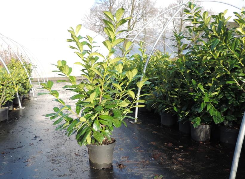 Kirschlorbeer Rotunifolia im 7,5l Topf,      www.funke-pflanzen.de