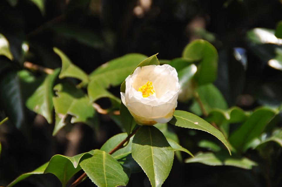 天の川:花びらの端が雄しべを包み込むように内側に向いている、抱え咲き