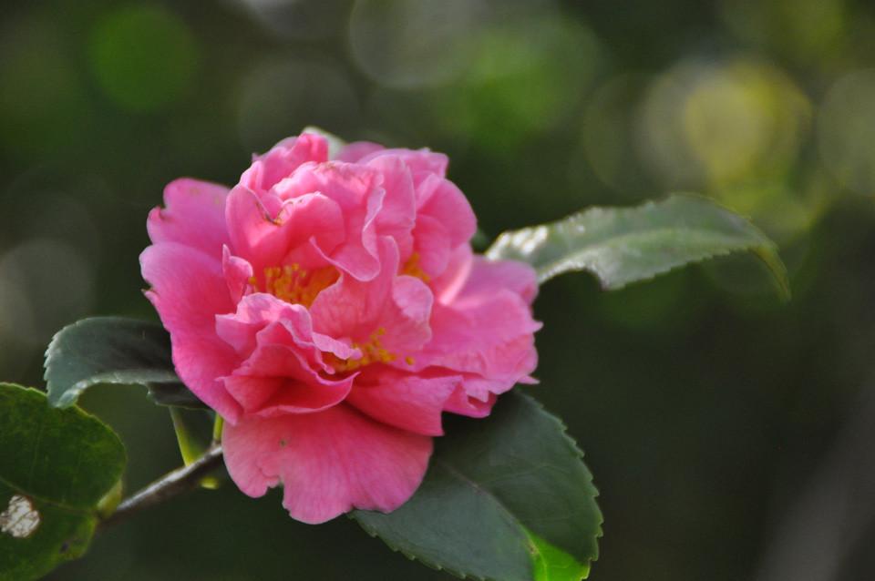 フラグラント ピンク:アメリカ産のツバキ。中輪で花数が多い