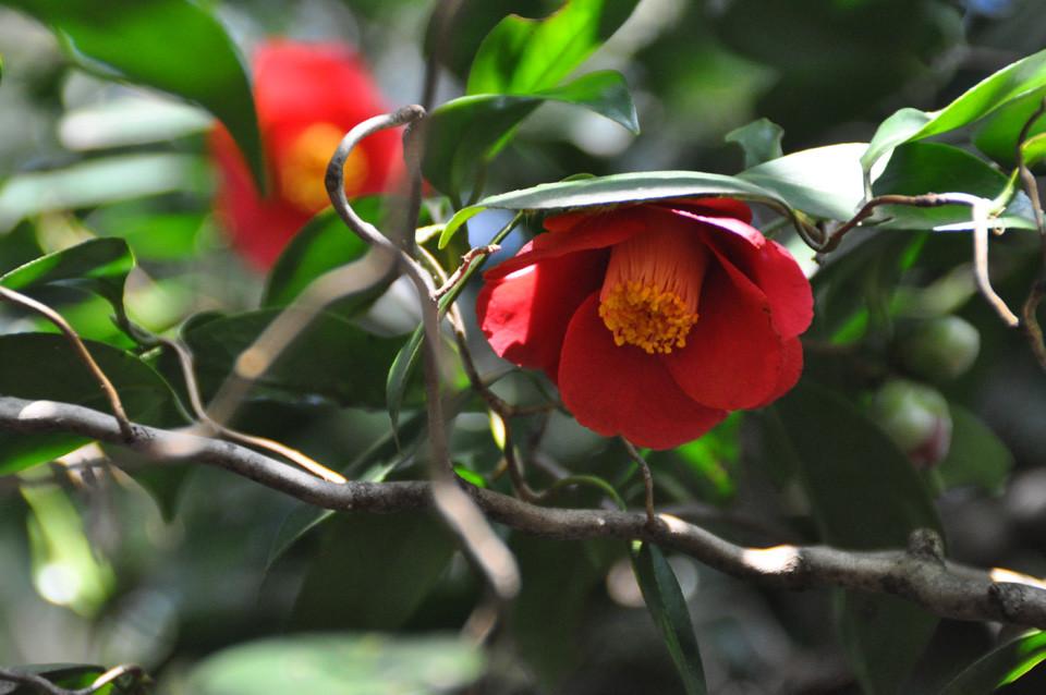 雲龍ツバキ:枝が曲がりくねっている。黒ツバキのような沈んだ赤