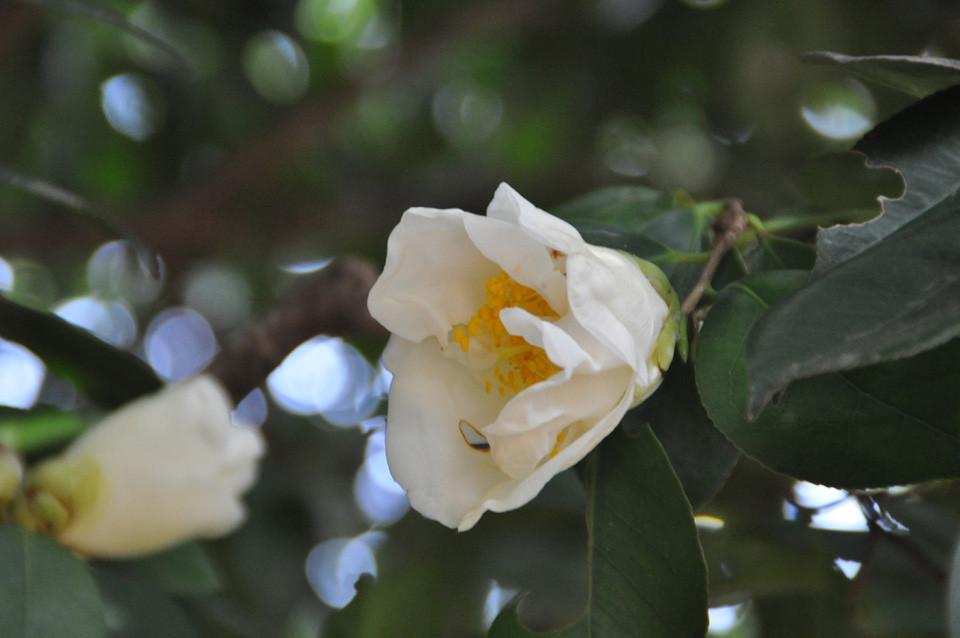 百合姫:筒咲き。一重の筒咲きでは一番大きい