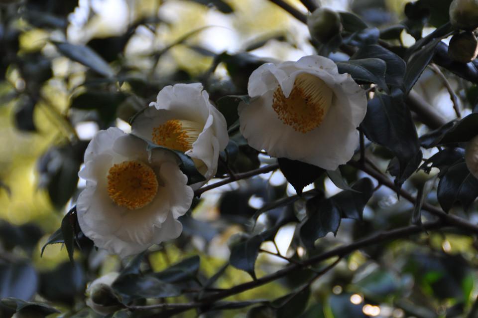 加茂本阿弥:一重の抱え咲き。早咲き