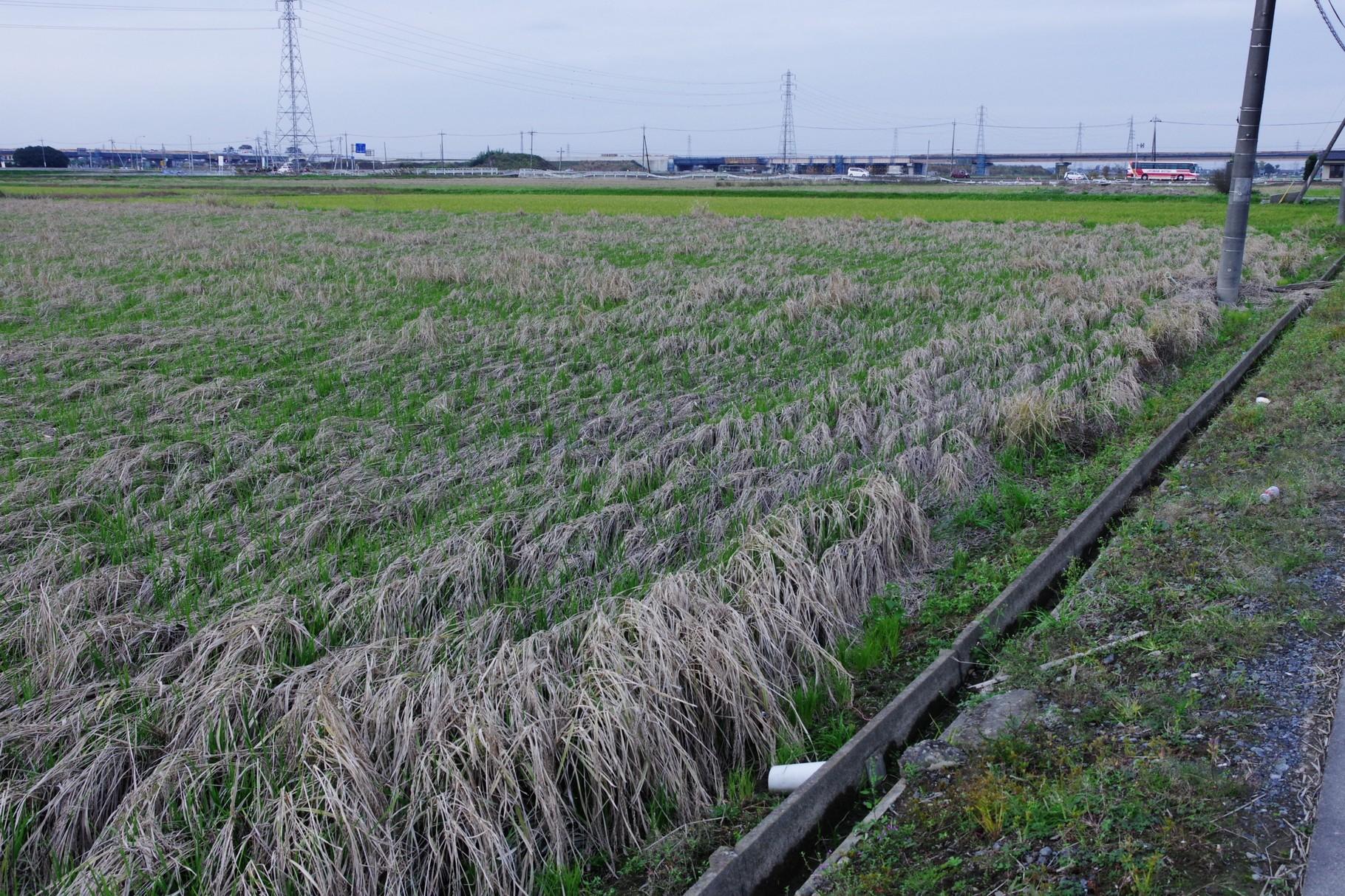 迫ってきた氾濫水の方向を示す稲穂
