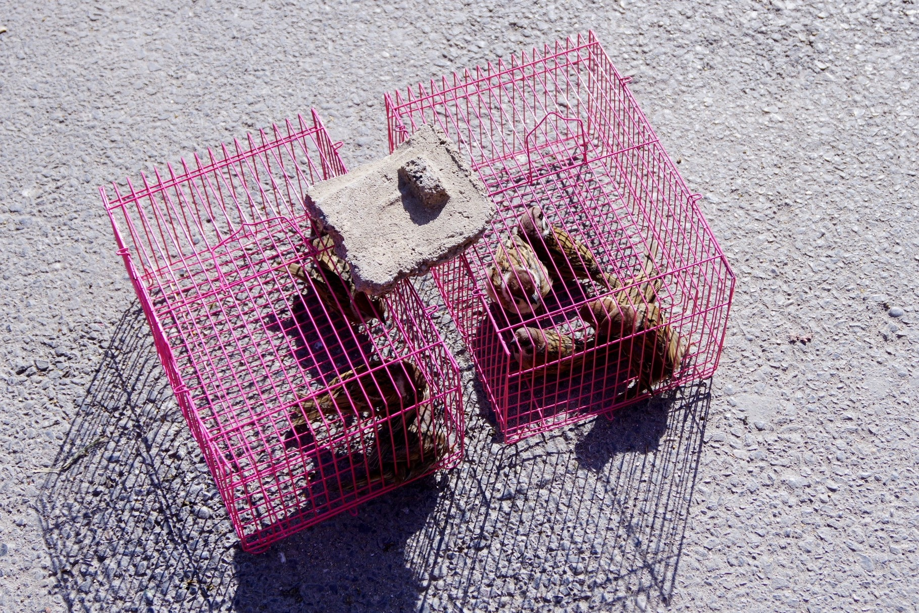 放鳥するためのスズメを売っている