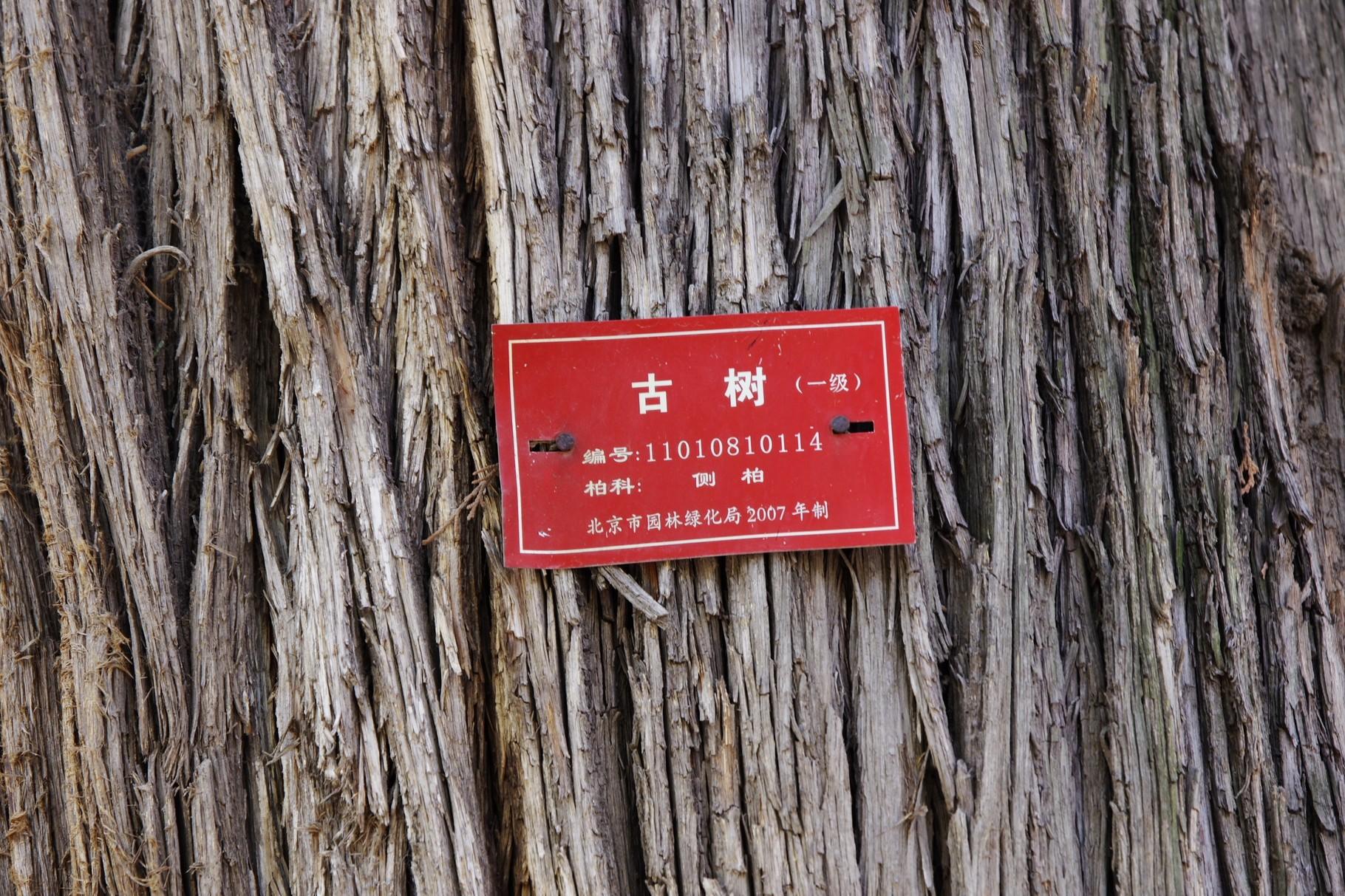 赤いラベルは樹齢500年以上