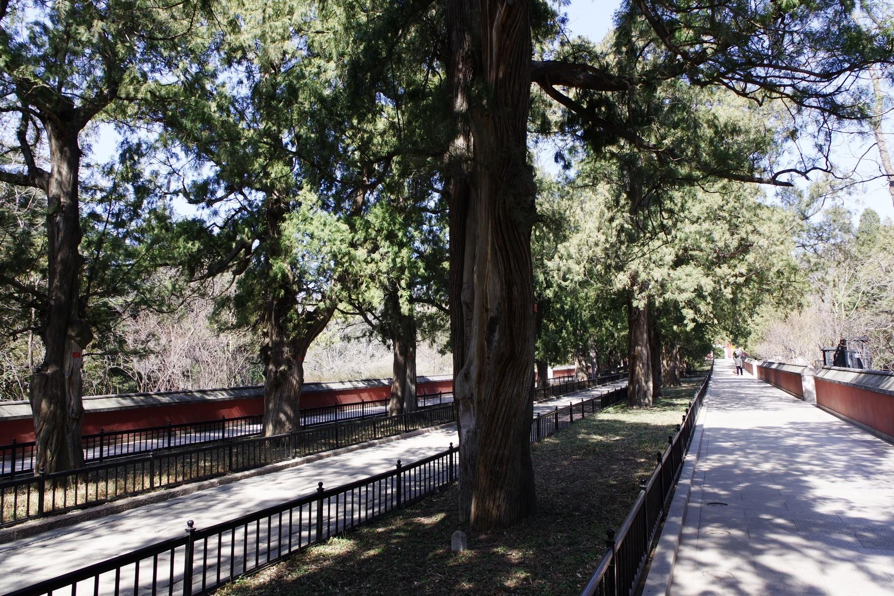 古樹の連なる参道