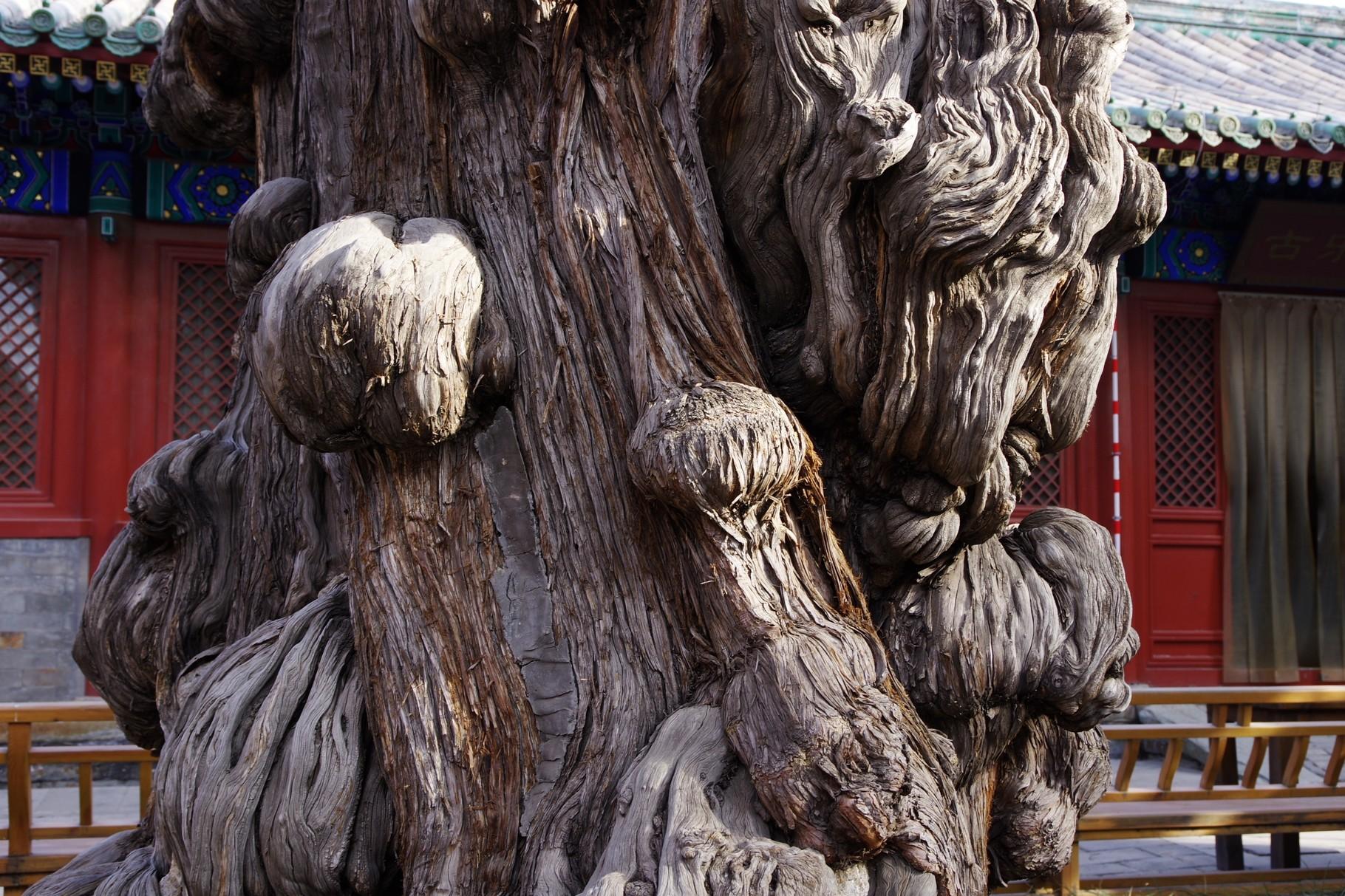 伽藍の古樹