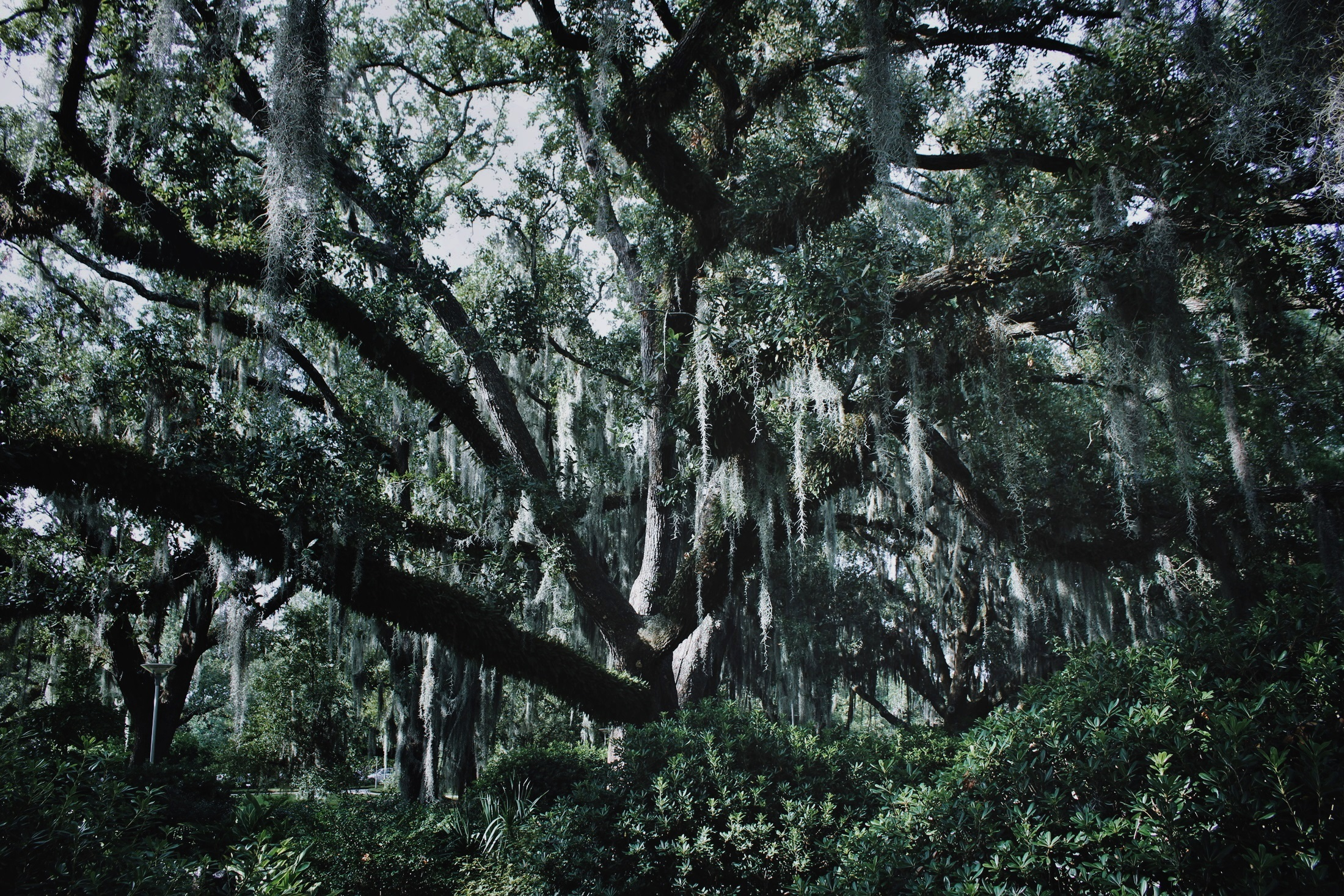 Oak Wizard at City Park, New Orleans, LA  - © Laura Deberle