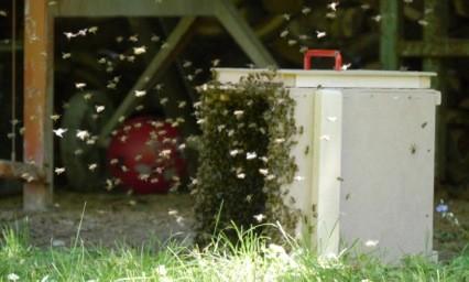 Nun dauert es noch eine Weile und alle Bienen fliegen in die Schwarmkiste