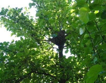 Ein Bienenschwarm hoch oben im Apfelbaum.