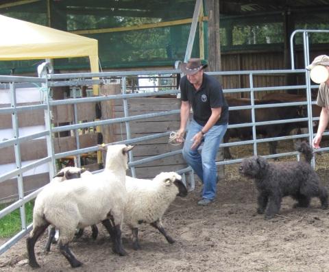 Der Bouvier des Flandres bei der Arbeit mit den Schafen, hier beim Training, Bouvierzucht, Bouvierzüchter