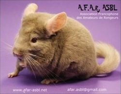Carte postale - Chinchilla